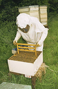 Bee man checks Honey Bee hive (Apis mellifera) for Queen bees, UK - John B Free