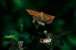 Silver washed fritillary (Argynnis paphia) in flight. Germany, Europe - Hans Christoph Kappel