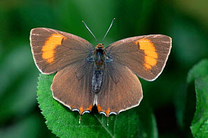 Brown Hairstreak Butterfly (Thecla betulae) Germany - Hans Christoph Kappel