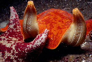 Two starfish/ batstars with upturned rays Pacific, California, USA. Unexplained behaviour that frequently occurs when two of these animals meet.  -  Jeff Rotman