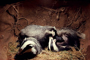 Badger cubs playing in underground sett, England, Europe  -  Andrew Cooper