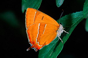 Brown Hairstreak. C (Thecla betulae) - Hans Christoph Kappel