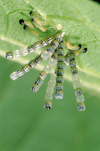 Map Butterfly (Araschnia levana) eggs on leaf with larvae beginning to hatch. Life cycle sequence - Hans Christoph Kappel