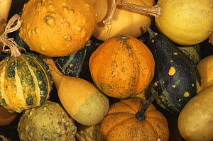 Gourds {Cucurbitaceae sp.} after harvesting, USA - Larry Michael