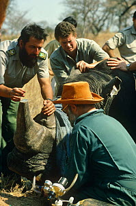 White rhinoceros being sedated as part of relocation project (Ceratotherium simum) Kruger NP, South Africa 1994. - Ron O'Connor
