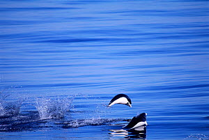 Southern Right whale dolphins porpoising (Lissodelphis peronii) Peru, Pacific  -  Pete Oxford