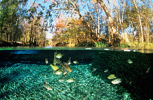 Split level view of river Basslets (Grammidae) in freshwater spring, Florida, USA  -  Jurgen Freund