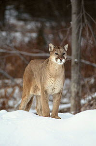 Puma in snow. Montana, USA. Captive animal - Tom Vezo
