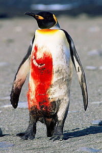 King Penguin {Aptenodytes patagoni} wounded and covered in blood from Leopard seal attack.  Southern Georgia. - Pete Oxford