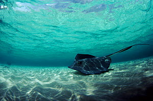 Southern Stingray in shallows off Cayman Islands - Georgette Douwma