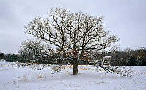 Bur oak in Winter (Qercus  macrocarpa) USA Seasons sequence 1  -  Larry Michael