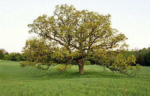 Bur oak in Spring (Quercus macrocarpa) USA Seasons sequence 2  -  Larry Michael
