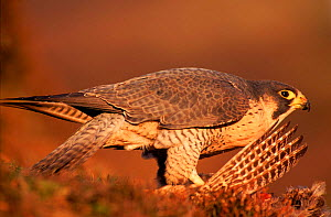 Peregrine falcon female on pheasant prey, subspecies brookei from southern Europe. Captive bird.  -  Niall Benvie