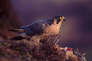 Peregrine falcon female on pheasant prey (subspecies brookei from south Europe)  -  Niall Benvie