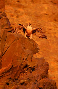 Peregrine falcon (female) on rocks. Subspecies brookei from southern Europe. Captive bird.  -  Niall Benvie