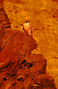 Peregrine falcon (female) on rocks. Subspecies brookei from southern Europe  -  Niall Benvie