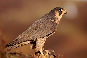 Peregrine falcon female (Falco peregrinus) subspecies brookei from southern Europe  -  Niall Benvie