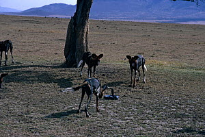 African wild dogs {Lycaon pictus} harassing Cobra, Masai Mara GR, Kenya - Keith Scholey