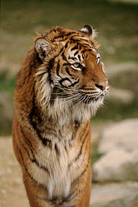 Sumatran Tiger portrait. Captive animal  -  John Downer