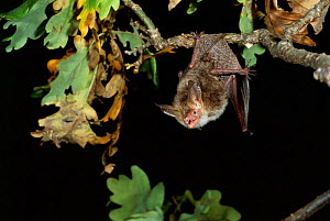 Bechstein's Bat roosting in tree. Germany - Dietmar Nill