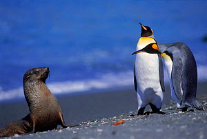 King penguins with young fur seal. (A patagoni) South Georgia Aptenodytes (Antarctic fur seal)  -  Pete Oxford
