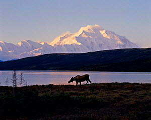 Moose by lake, Alaska (Alces alces) Denali NP US  -  TOM MANGELSEN