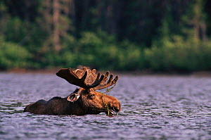 Bull moose (Alces alces) feeding in lake. Gaspe Park Canada - Louis Gagnon
