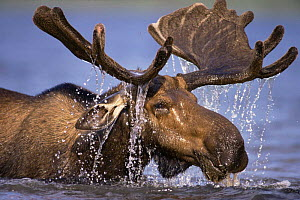 Bull Moose (Alces alces) feeding in lake. Gaspe Park, Canada. Older moose feed in deeper water. - Louis Gagnon