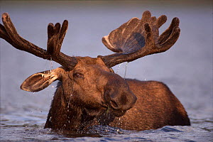 Bull moose feeding in lake (Alces alces) Gaspe Park, Canada, North America - older moose feed on plants in deeper water  -  Jose Schell