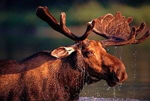 Bull moose (Alces alces) feeding in lake. Gaspe Park, Canada  -  Jose Schell
