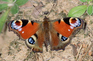 Peacock Butterfly, Germany  -  Hans Christoph Kappel