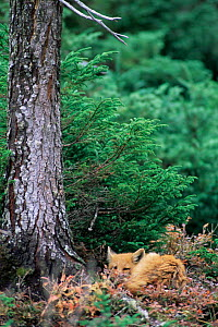 North Amercian Red fox resting (Vulpes vulpes) Anticosti Is, Canada - Louis Gagnon