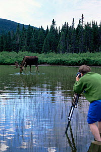 Photographer Jose Schell photographing Moose feeding in lake, Gaspe Park, Canada - Louis Gagnon