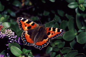 Small Tortoiseshell butterfly on Hebe plant in garden, England.  -  David Kjaer