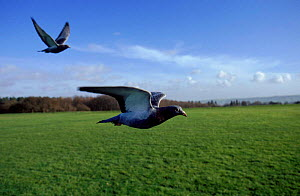 Feral pigeon (Rock dove) flying; photographed during filming of BBC tv series Lifesense  -  John Downer