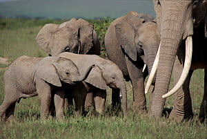 African elephant breeding herd. Amboseli National Park, Kenya. Cynthia Moss EB family study group the subject of Echo the Elephant.  -  John Sparks