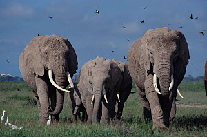 Elephants (including Echo & Ella of Cynthia Moss EB family study group) Amboseli NP, Kenya, East Africa  -  John Sparks