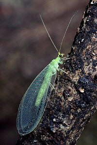 Green lacewing, Scotland - Duncan Mcewan