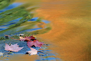 Sugar Maple leaves in water with autumn coloured reflections. USA  -  Larry Michael