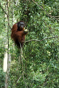 Male Orang Utan eating Durian fruit in tree, Sepilok, Borneo  -  Neil Lucas