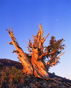 Great Basin / Intermount Bristlecone pine (Pinus longaeva) at moonset, Ancient Bristlecone Pine Forest, White Mountains, California, USA - David Welling