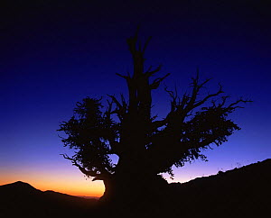 Silhouette of Great basin (Intermountain) Bristlecone pine (Pinus longaeva) at sunset, Ancient Bristlecone Pine Forest, White Mountains, California, USA - David Welling
