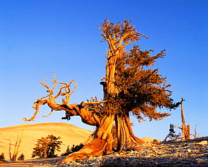 Ancient Bristlecone pine at sunset (Pinus longaeva) White Mountains, California, USA - David Welling