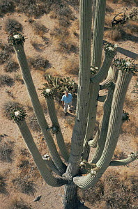 David Attenborough looking up at saguaro cactus in flower. On location for BBC series Private Life of Plants, 1993 - NEIL NIGHTINGALE