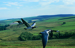 Barnacle geese {Branta leucopsis} in flight, imprinted geese trained to fly beside car, captive, UK  -  John Downer