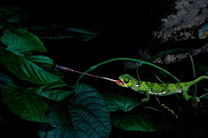 Flap necked chameleon catching fly with tongue, Africa  -  Pete Oxford