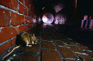 Brown rat {Rattus norvegicus} in sewer, captive - Warwick Sloss