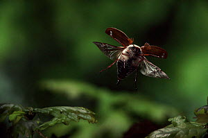 Common cockchafer (Maybug) in flight, Germany  -  Hans Christoph Kappel