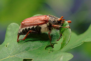 Common cockchafer (Maybug) feeding on oak leaf, Germany  -  Hans Christoph Kappel