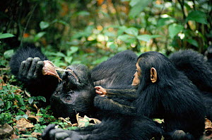 Year-old chimp begs for monkey meat from adult male. Tanzania Mahale Mountains {Pan troglodytes}  -  IAN REDMOND